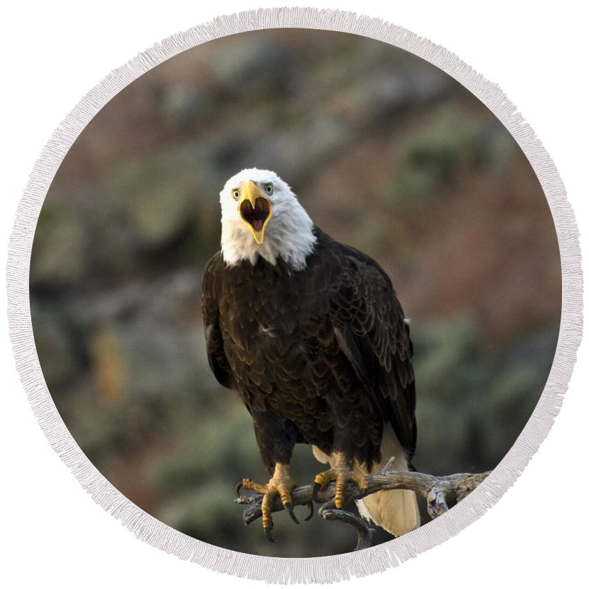 Bald Eagle Round Beach Towel featuring the photograph Angry Bald Eagle by Linda Weyers