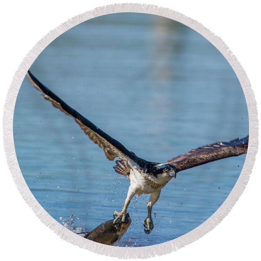 Osprey Round Beach Towel featuring the photograph Animal - Bird - Osprey Catching A Fish by CJ Park