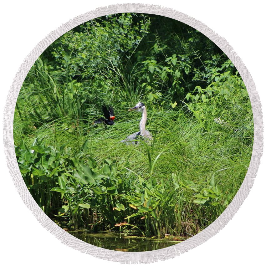 Marsh Round Beach Towel featuring the photograph Annoyed - Heron and Red Winged Blackbird 5 of 10 by Colleen Cornelius