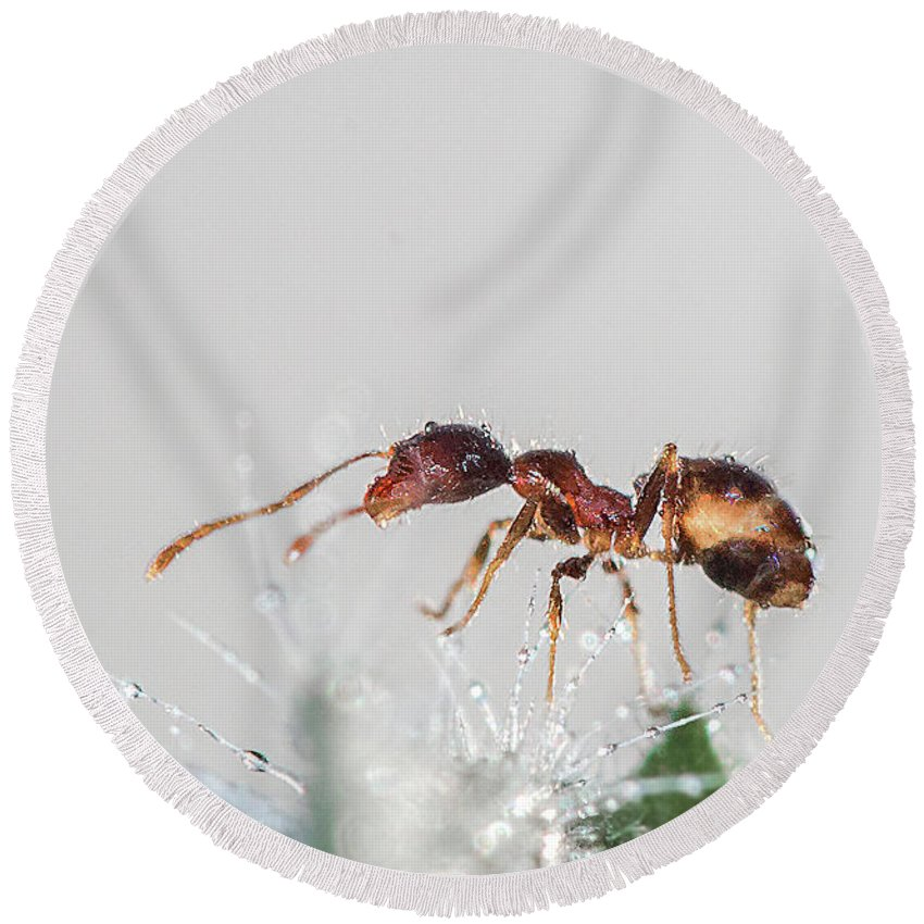 Ant Round Beach Towel featuring the photograph Ant Macro Photography by Ronel BRODERICK