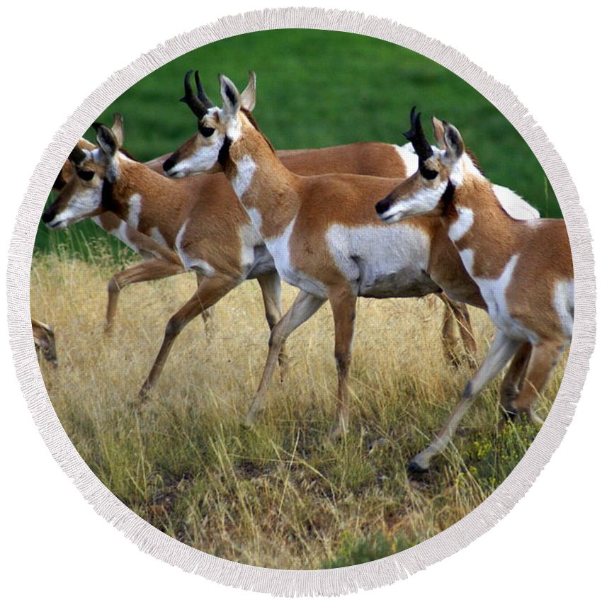 Wildlife Round Beach Towel featuring the photograph Antelope 1 by Marty Koch