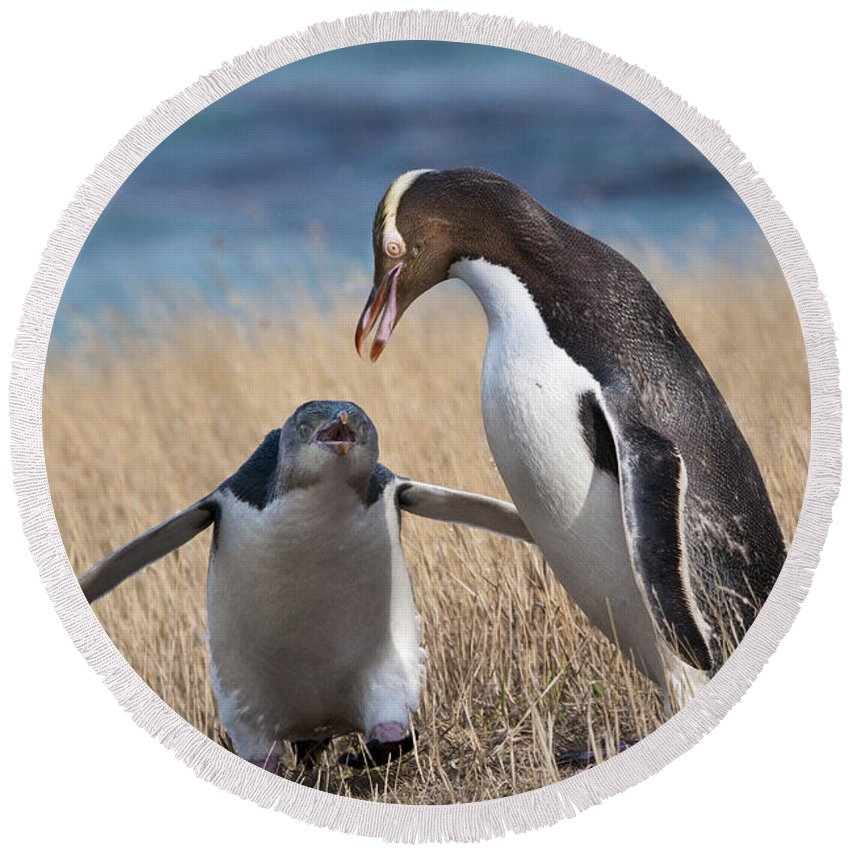 Penguin Round Beach Towel featuring the photograph Anticipation by Werner Padarin