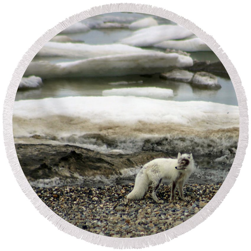 Fox Round Beach Towel featuring the photograph Arctic Fox By Frozen Ocean by Anthony Jones