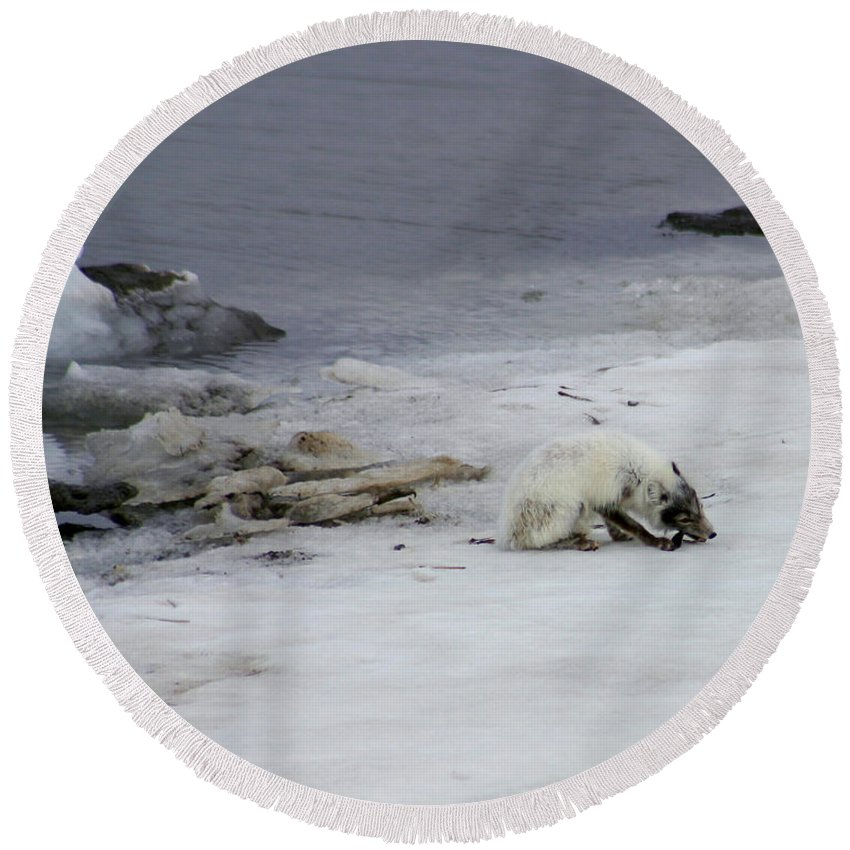 Arctic Fox Round Beach Towel featuring the photograph Arctic Fox Eating by Anthony Jones