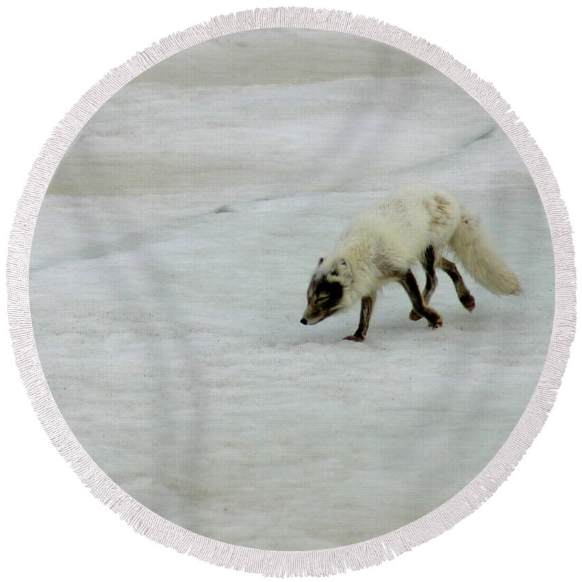 Arctic Fox Round Beach Towel featuring the photograph Arctic Fox On Ice by Anthony Jones