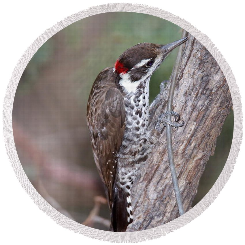 Arizona Woodpecker Round Beach Towel featuring the photograph Arizona Woodpecker by Ron D Johnson