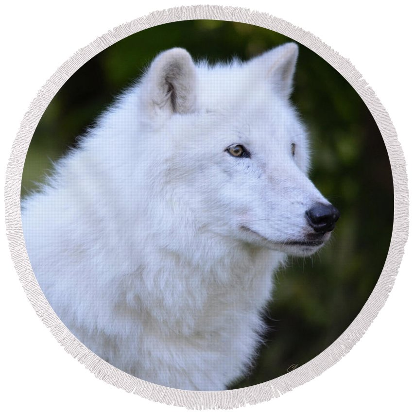 Wolf Round Beach Towel featuring the photograph Artic Grey Wolf - Atka from NYWolf.org by ChelleAnne Paradis