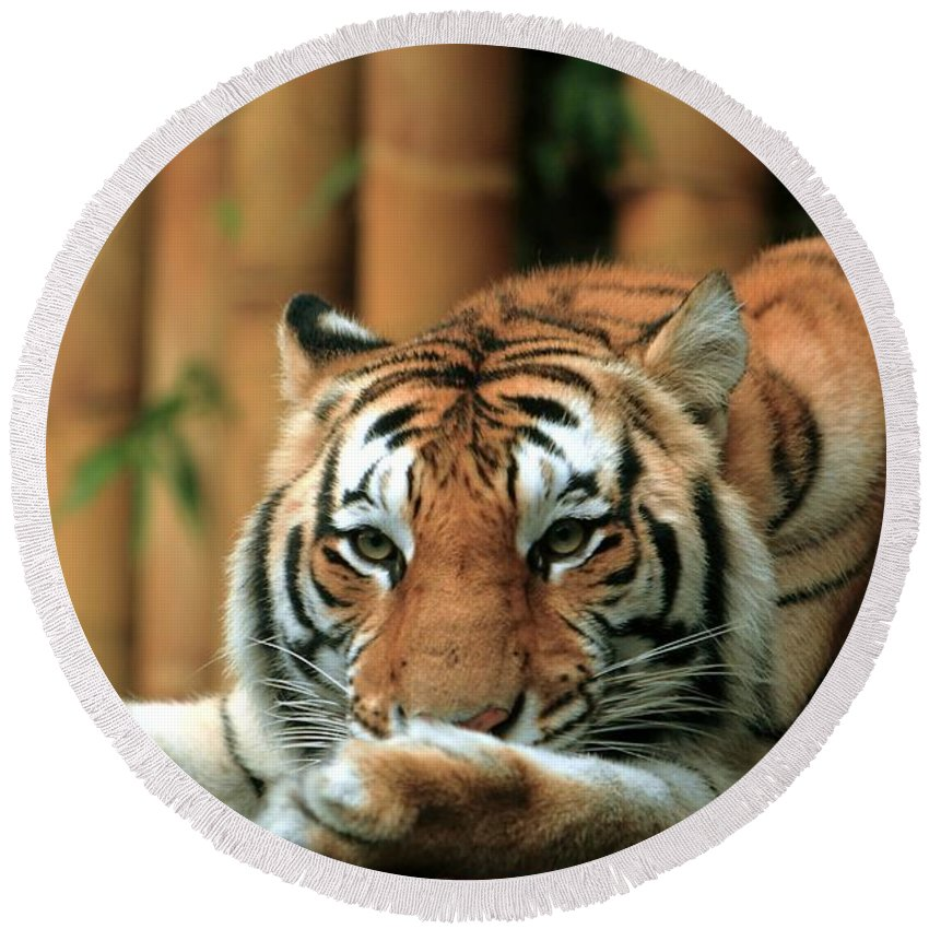Tiger Round Beach Towel featuring the photograph Asian Tiger 5 by Randy Matthews