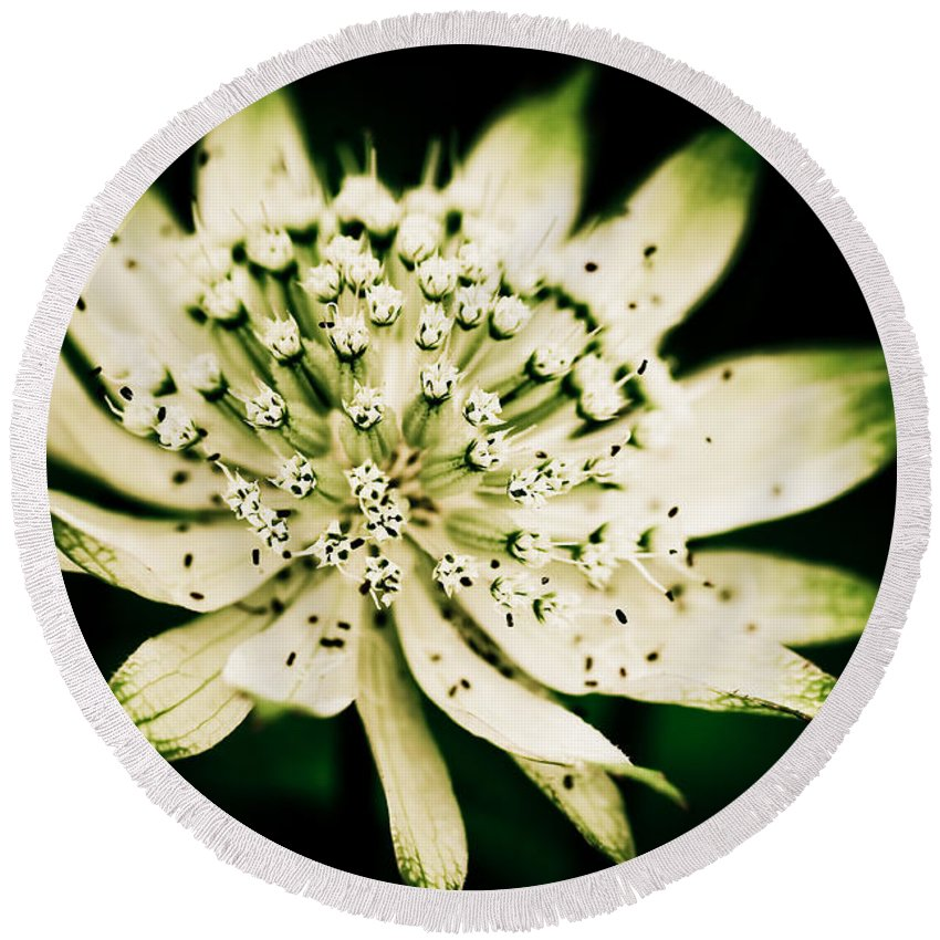 Beauty In Nature Round Beach Towel featuring the photograph Astrantia In Bloom by Venetta Archer