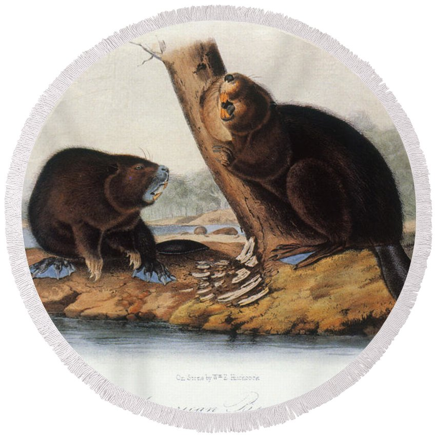 1846 Round Beach Towel featuring the photograph Audubon: Beaver, 1846 by Granger