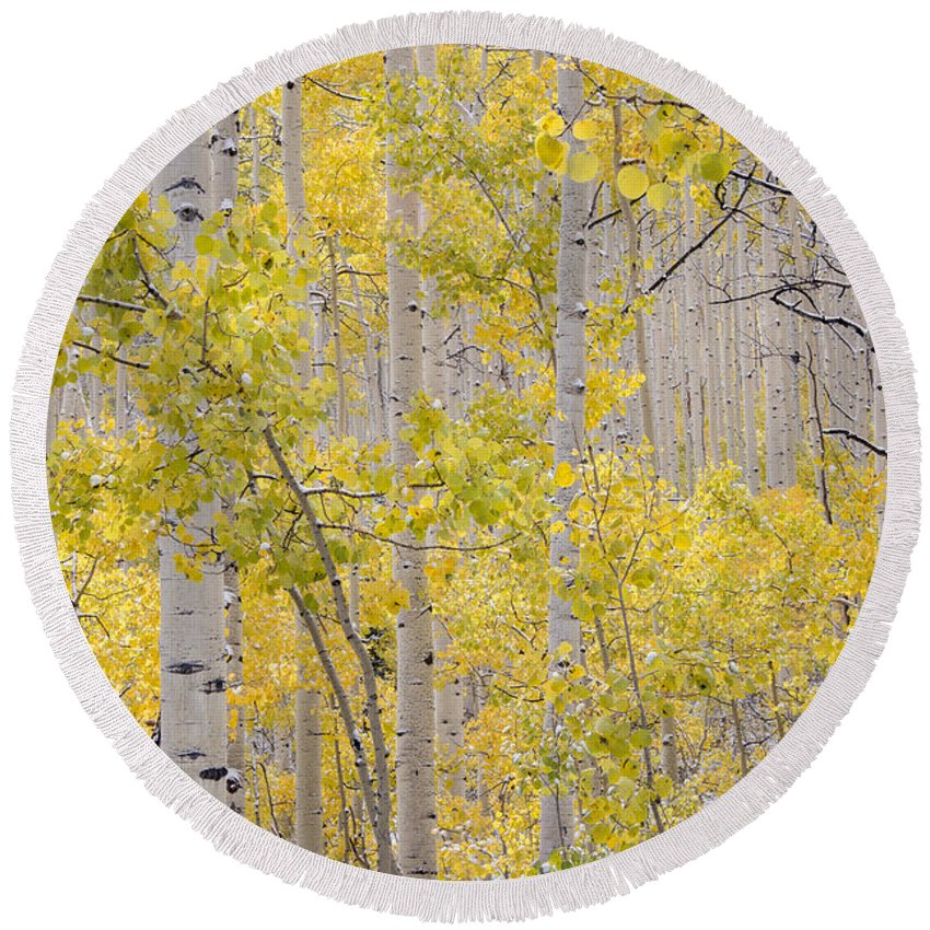 Aspen Forest Round Beach Towel featuring the photograph Autumn Aspens 11 by Leland D Howard