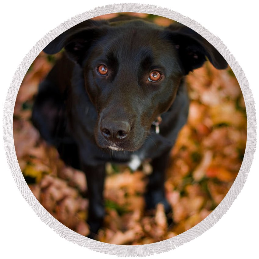 3scape Round Beach Towel featuring the photograph Autumn Dog by Adam Romanowicz