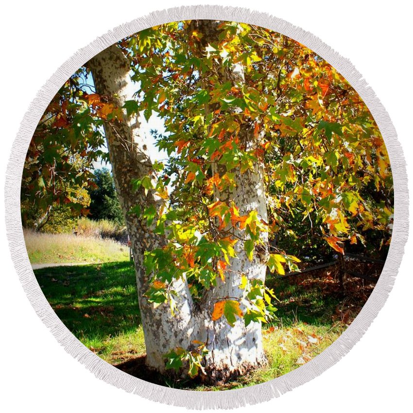 Autumn Tree Round Beach Towel featuring the photograph Autumn Sycamore Tree by Carol Groenen