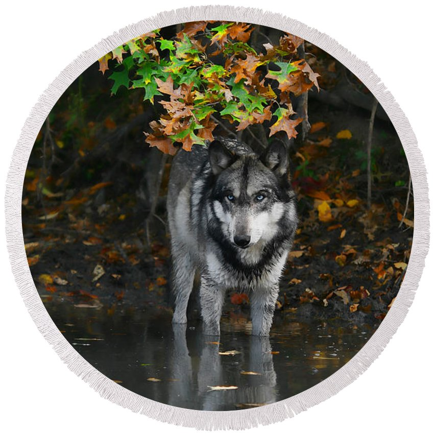 Wolf Wolves Lupine Canis Lupus Wildlife Animal Photography Photograph Round Beach Towel featuring the photograph Autumn Wolf by Shari Jardina