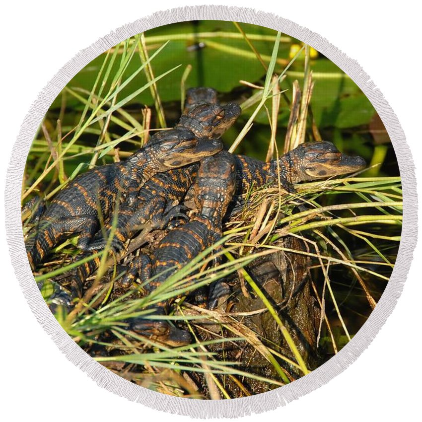 Alligators Round Beach Towel featuring the photograph Baby Alligators by David Lee Thompson