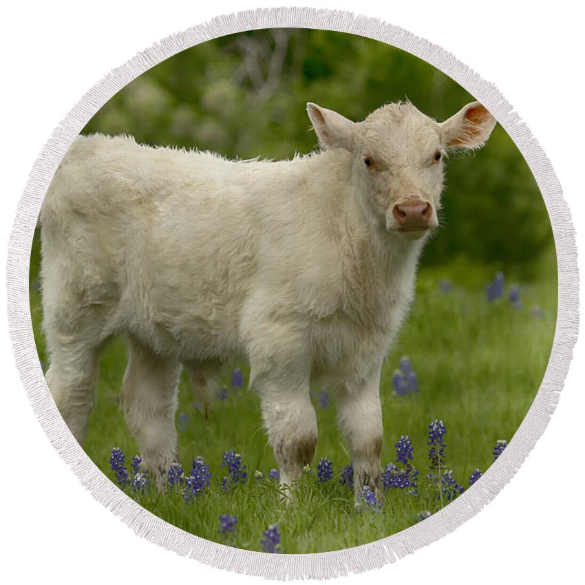 Cow Round Beach Towel featuring the photograph Baby Calf With Bluebonnets by Debby Richards