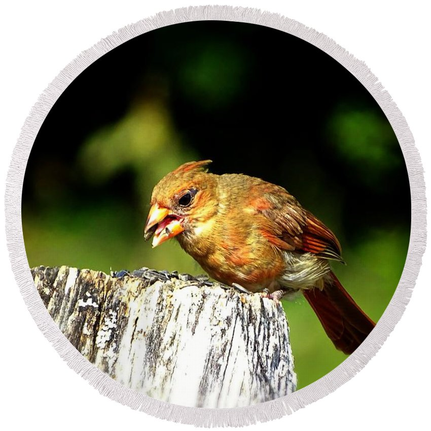 Bird With The Seed Round Beach Towel featuring the photograph Baby Cardinal by Lilia D