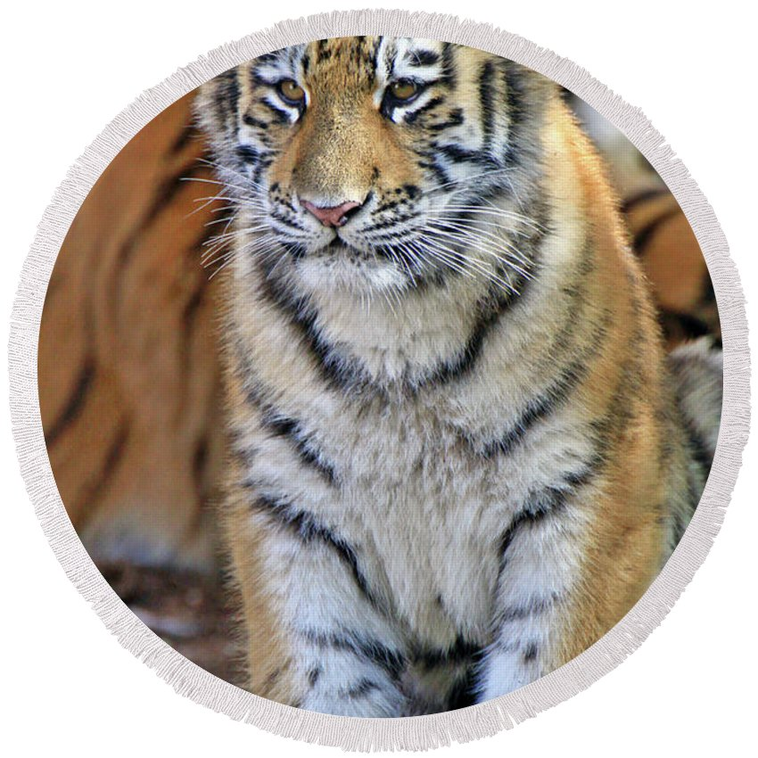 Tiger Round Beach Towel featuring the photograph Baby Stripes by Scott Mahon