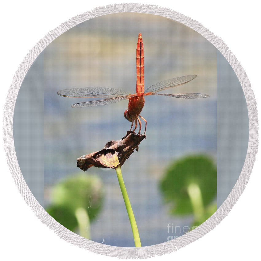 Red Dragonfly Round Beach Towel featuring the photograph Balancing Act by Carol Groenen