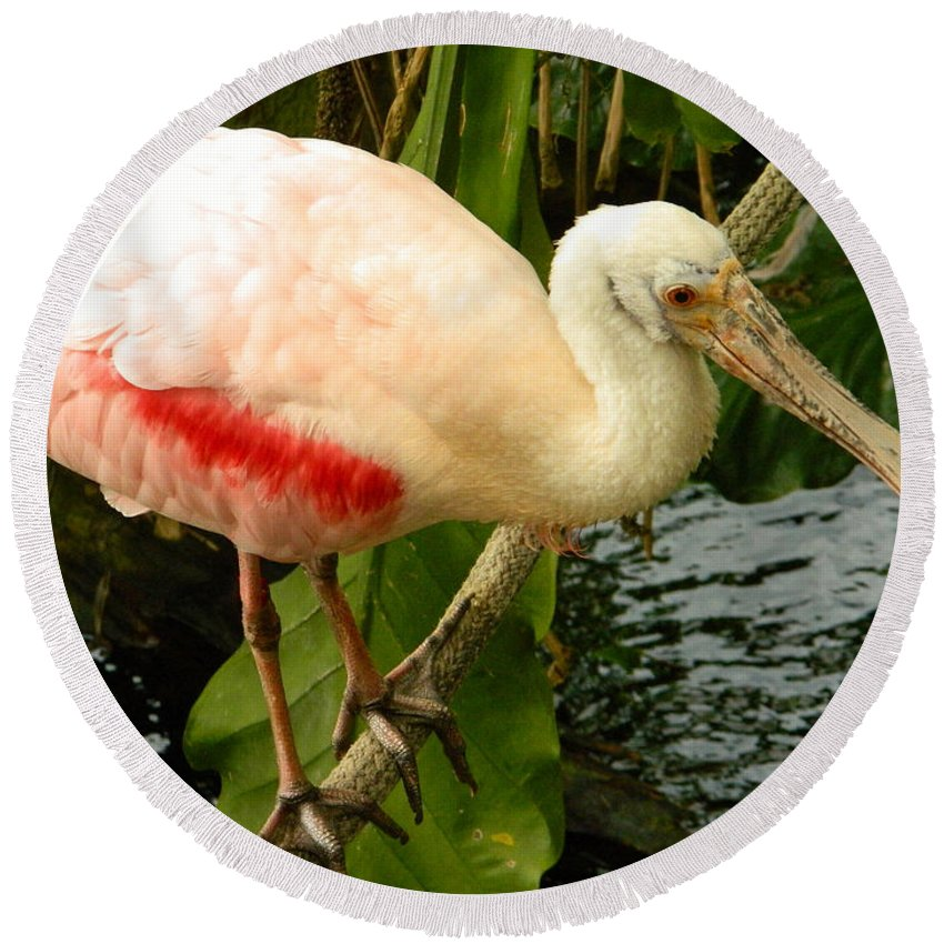 Balancing Act - Roseate Spoonbill Round Beach Towel featuring the photograph Balancing Act - Roseate Spoonbill by Emmy Vickers