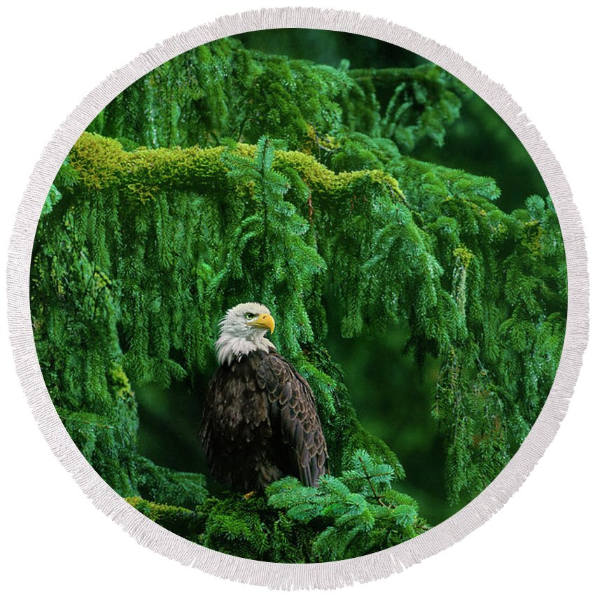 Bald Eagle Round Beach Towel featuring the photograph Bald Eagle In Temperate Rainforest Alaska Endangered Species by Dave Welling