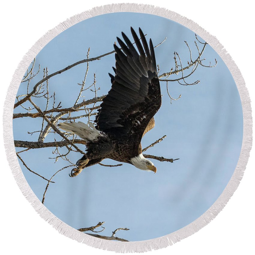 Bald Eagle Round Beach Towel featuring the photograph Bald Eagle Makes An Aggressive Dive by Tony Hake