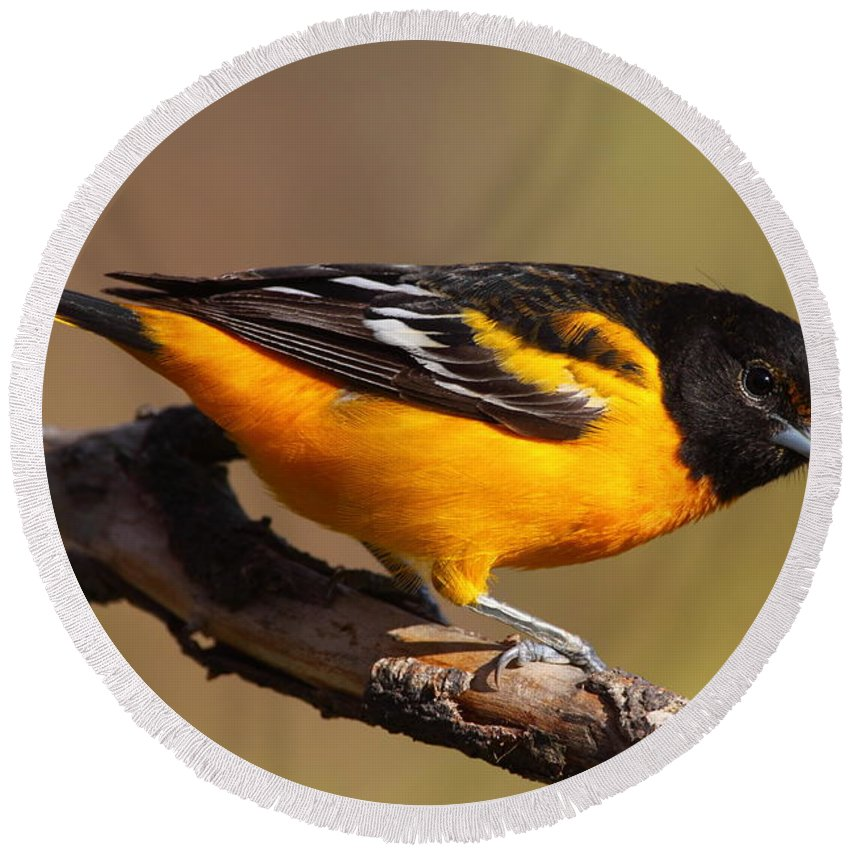 Baltimore Round Beach Towel featuring the photograph Baltimore Oriole by Bruce J Robinson