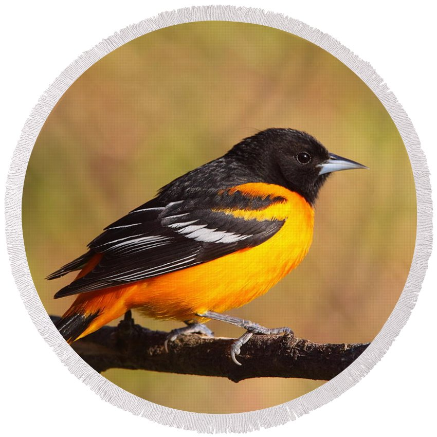 Oriole Round Beach Towel featuring the photograph Baltimore Oriole IIi by Bruce J Robinson
