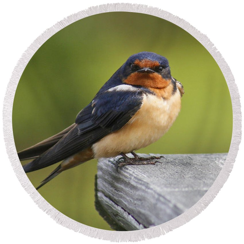 Bird Round Beach Towel featuring the photograph Barn Swallow by Amy Jackson