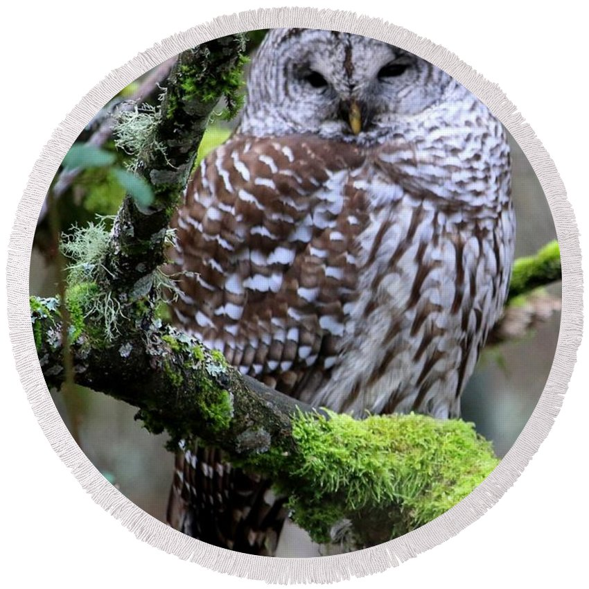 Owl Round Beach Towel featuring the photograph Barred Owl In Tree by Nick Gustafson