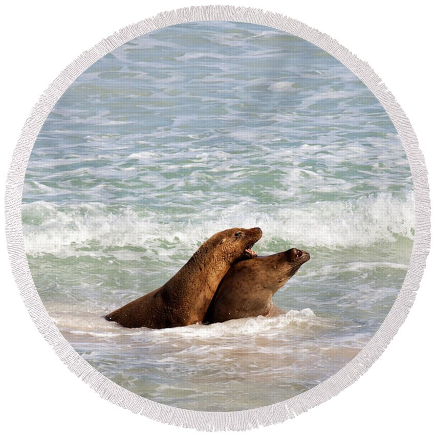 Sea Lion Round Beach Towel featuring the photograph Battle For The Beach by Mike Dawson
