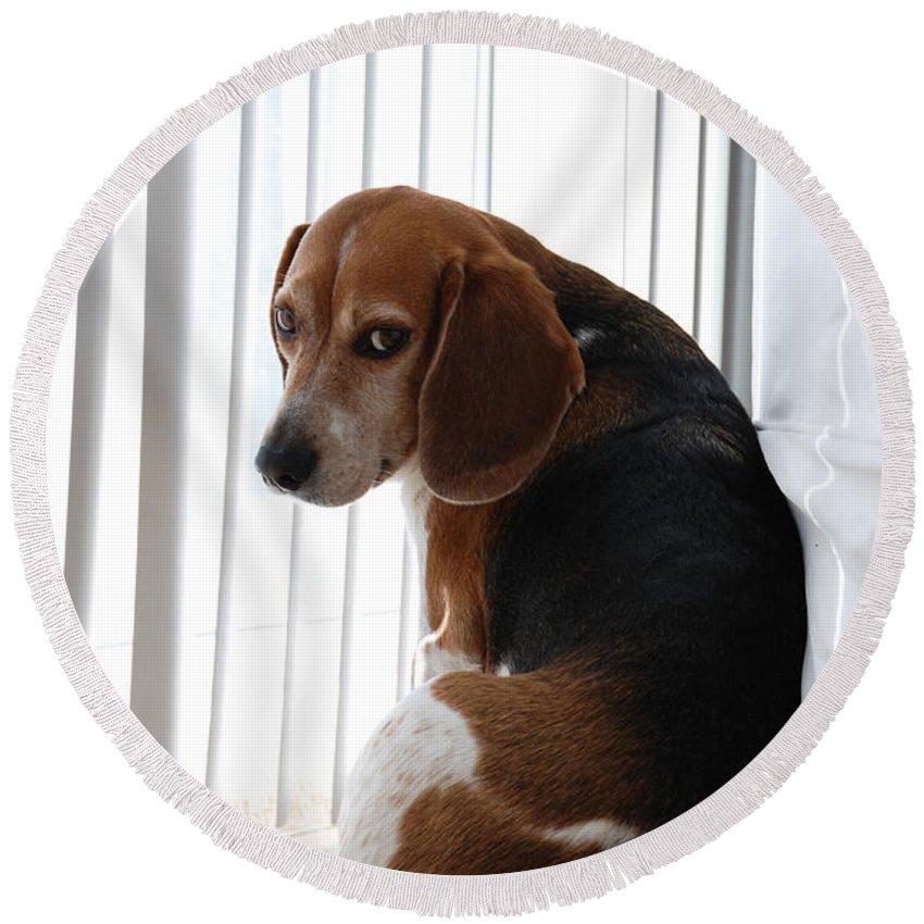 Beagle Round Beach Towel featuring the photograph Beagle Attitude by Jennifer Ancker