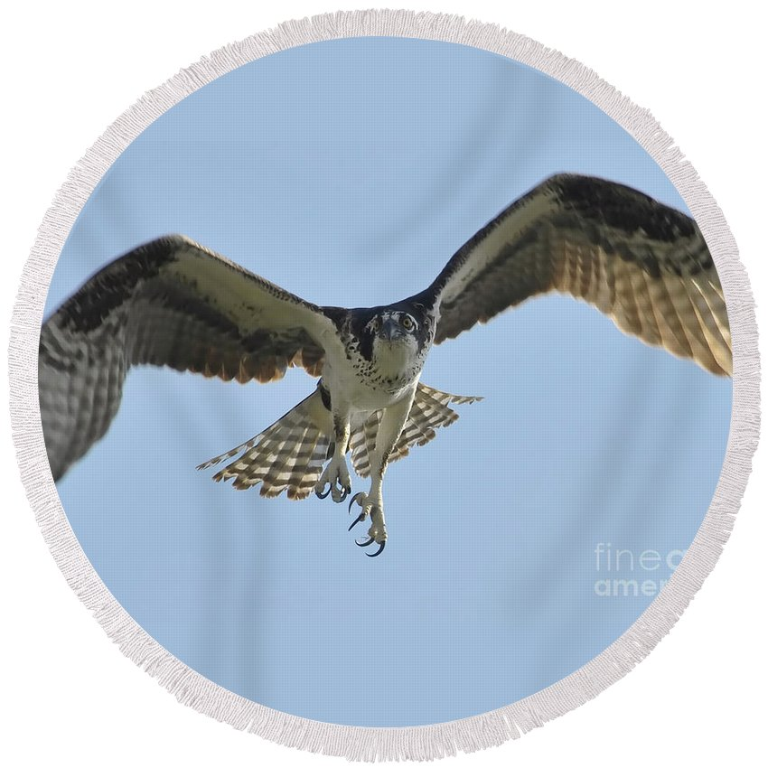 Osprey Round Beach Towel featuring the photograph Before The Catch by David Lee Thompson