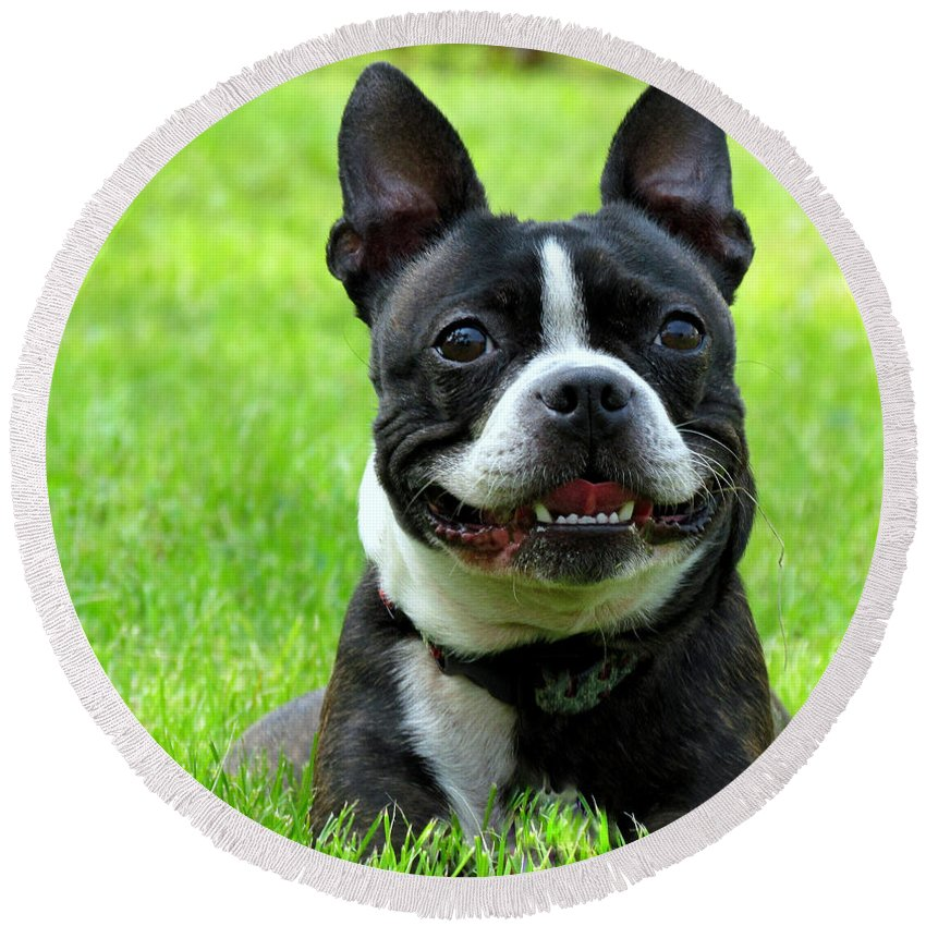 Dog Round Beach Towel featuring the photograph Bella The Boston by Lori Pessin Lafargue