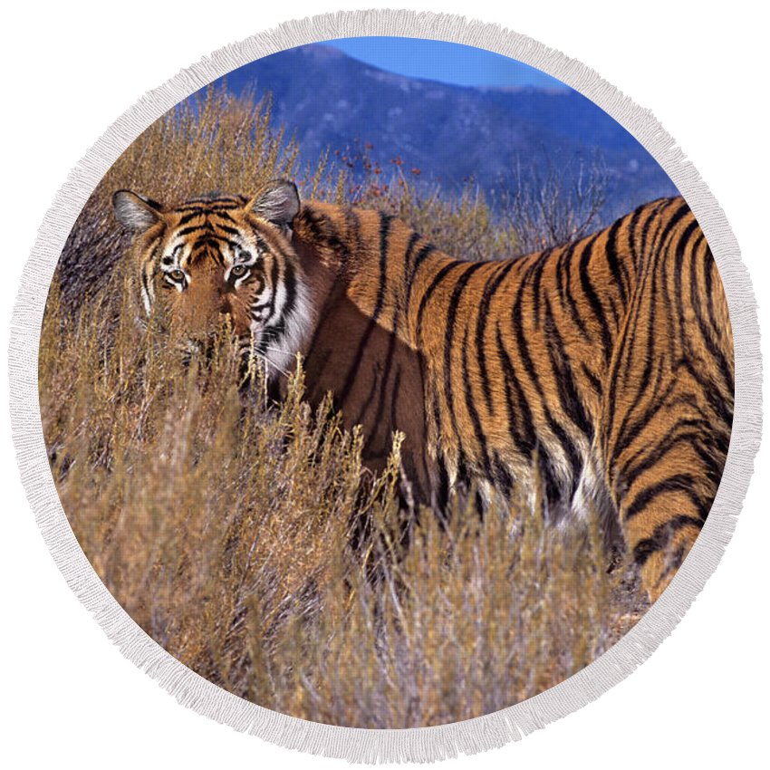 Bengal Tiger Round Beach Towel featuring the photograph Bengal Tiger Endangered Species Wildlife Rescue by Dave Welling