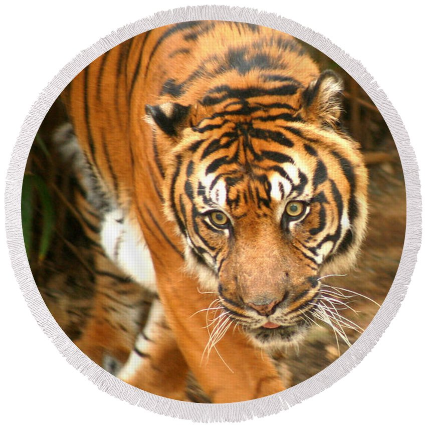 Bengal Round Beach Towel featuring the photograph Bengal Tiger by Thomas Marchessault