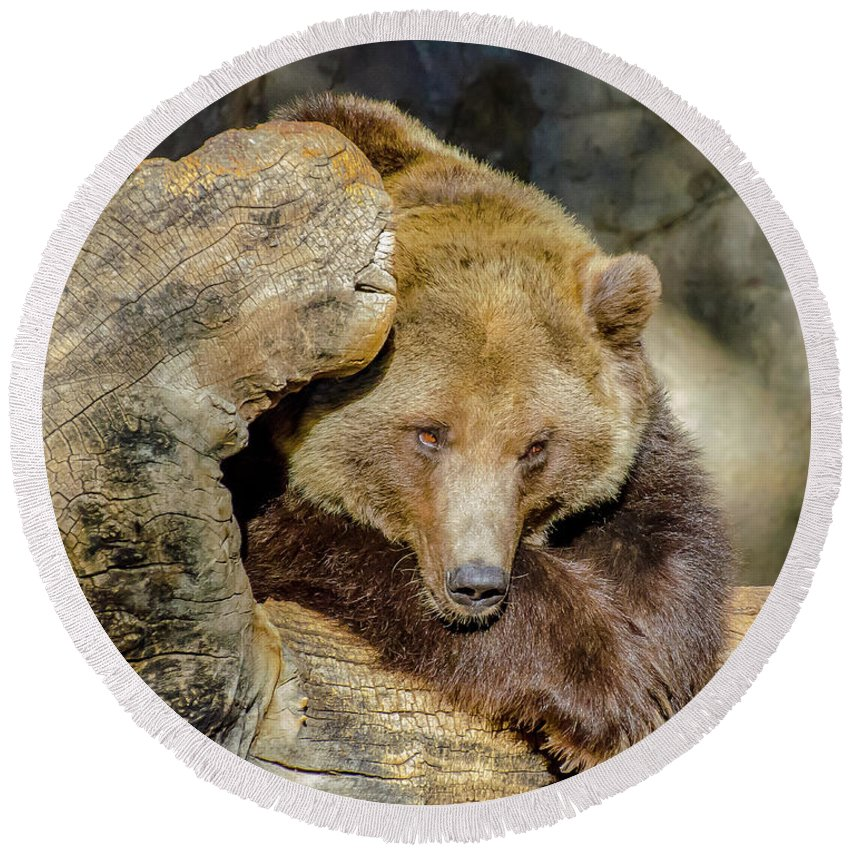 Brown Round Beach Towel featuring the photograph Big Brown Bear by Domingo Washington