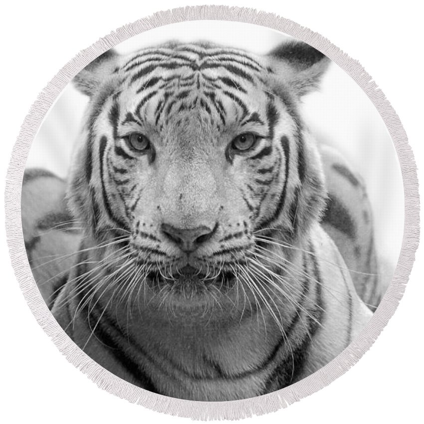 Tiger Round Beach Towel featuring the photograph Big Cats 115 by Ben Yassa