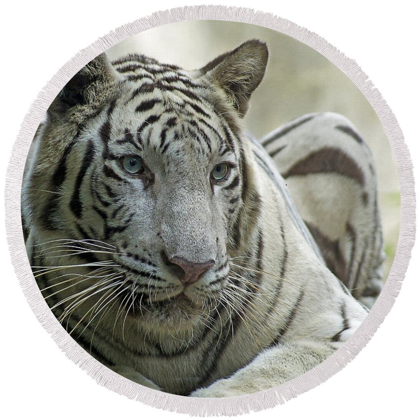 Tiger Round Beach Towel featuring the photograph Big Cats 117 by Ben Yassa