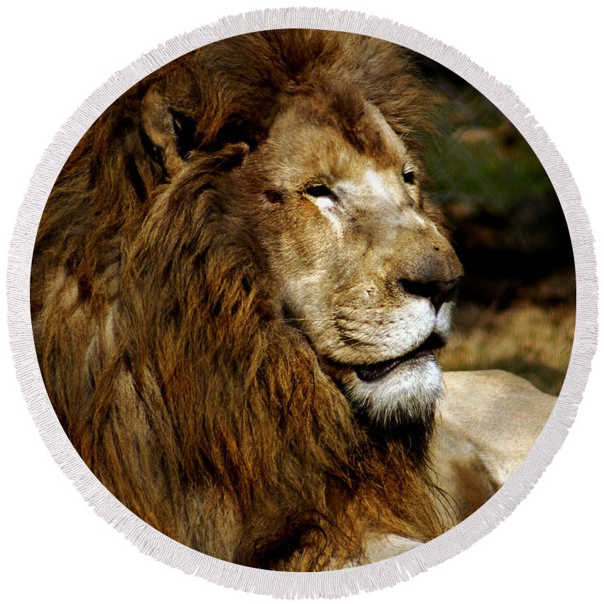 Lion Round Beach Towel featuring the photograph Big Cats 69 by Ben Yassa
