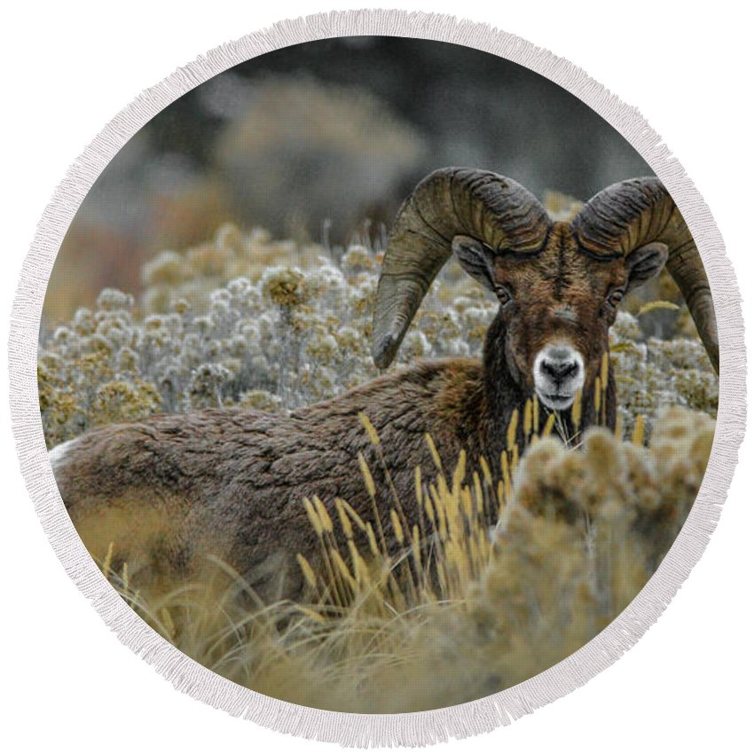 Bighorn Sheep Round Beach Towel featuring the photograph Bighorn in Sage by Jason Brooks