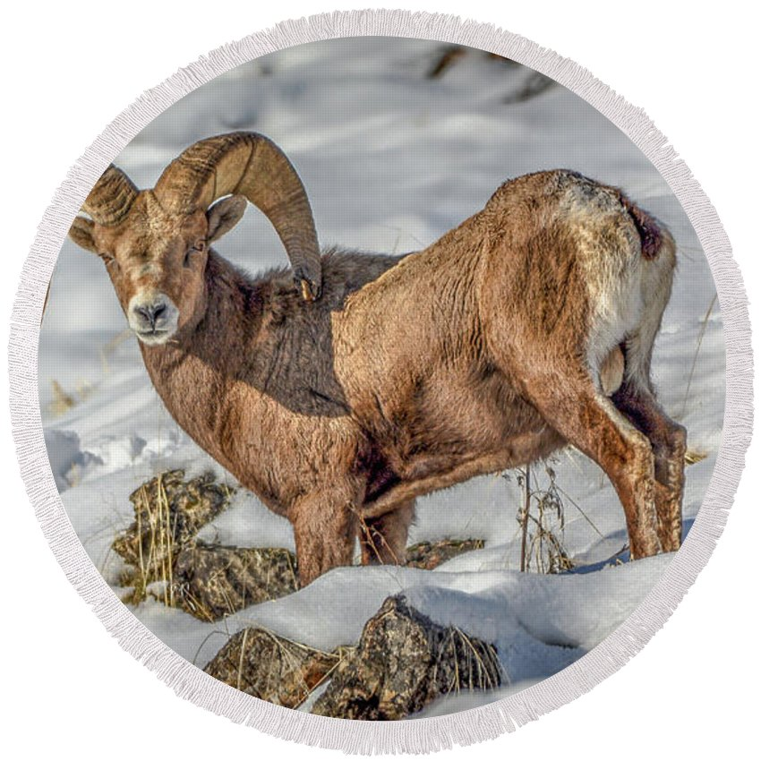 Bighorn Ram Round Beach Towel featuring the photograph Bighorn in the snow by Jason Brooks
