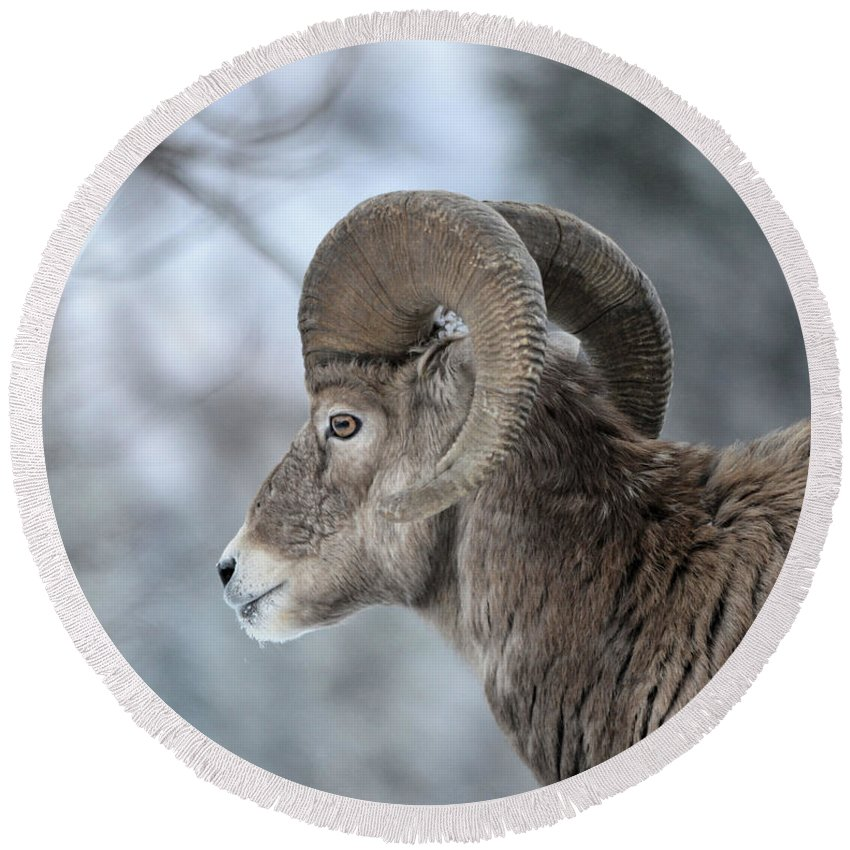 Ram Round Beach Towel featuring the photograph Bighorn Ram by Whispering Peaks Photography