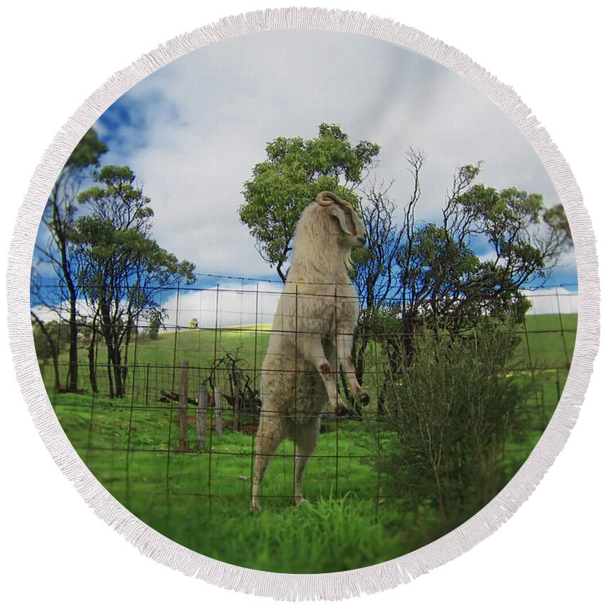 Billy Goat Round Beach Towel featuring the photograph Billy Goat At The Lookout Post by Douglas Barnard