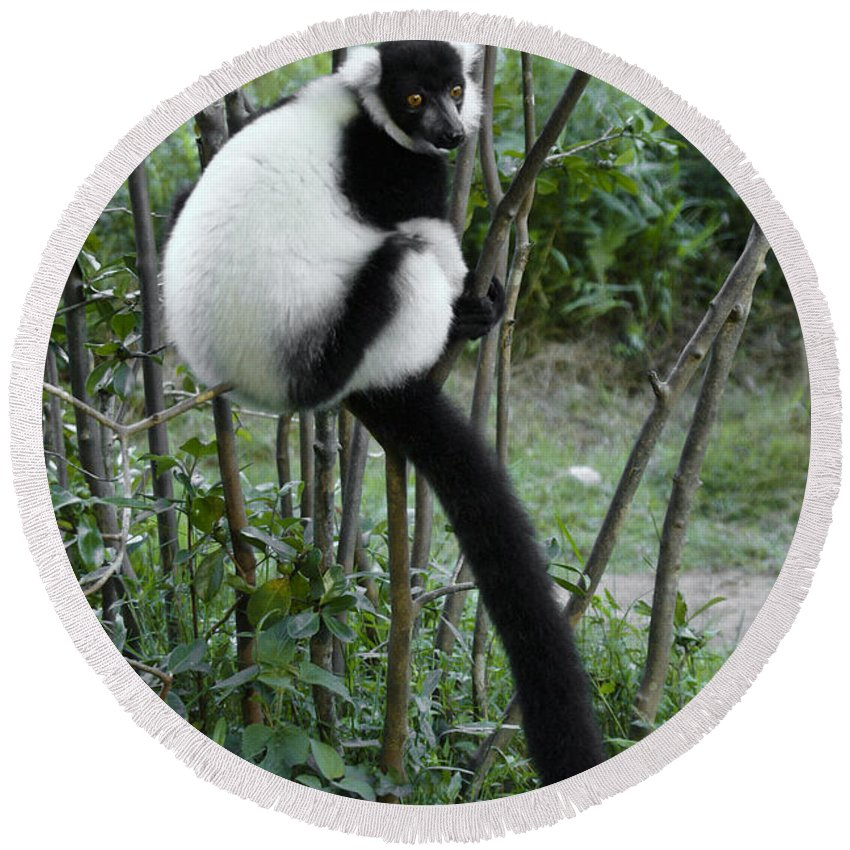 Madagascar Round Beach Towel featuring the photograph Black And White Ruffed Lemur by Michele Burgess