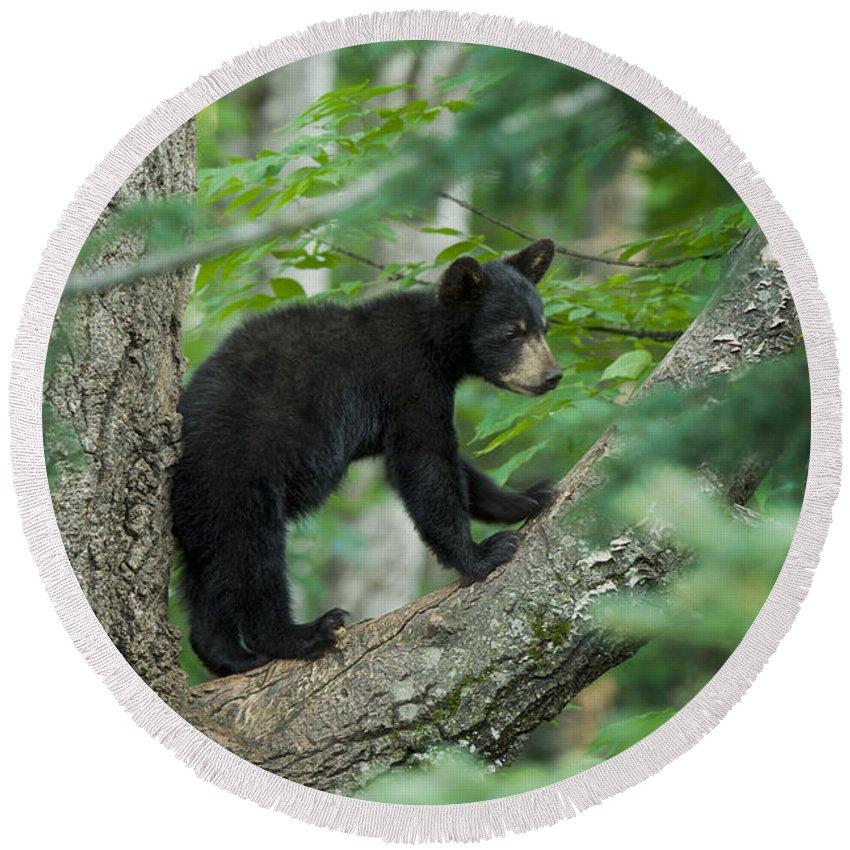 Black Bear Cub Round Beach Towel featuring the photograph Black Bear Cub by Craig Voth