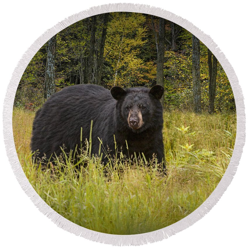 Wildlife Round Beach Towel featuring the photograph Black Bear In The Grass by Randall Nyhof