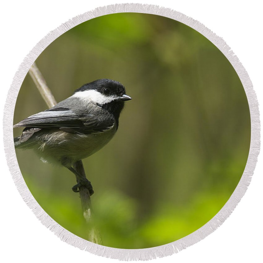 Black-capped Chickadee Round Beach Towel featuring the photograph Black-capped Chickadee by Sharon Talson