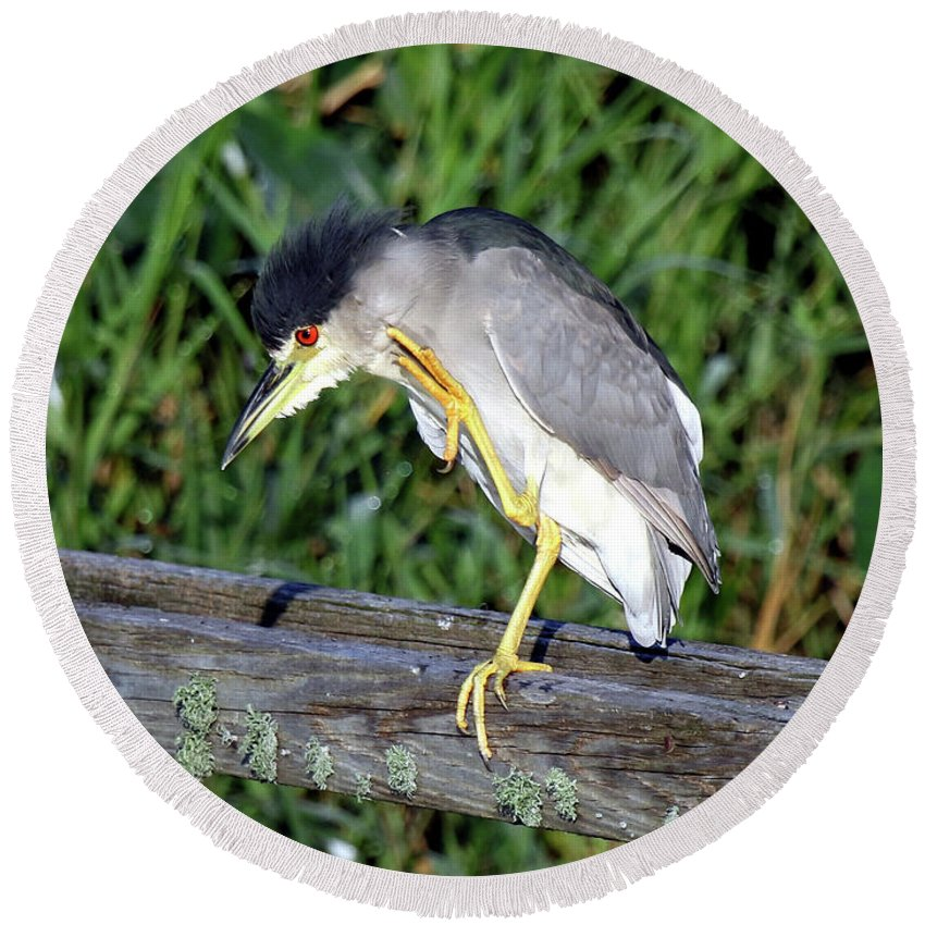 Bird Round Beach Towel featuring the photograph Black Crown Night Heron Scratching by Mercedes Martishius