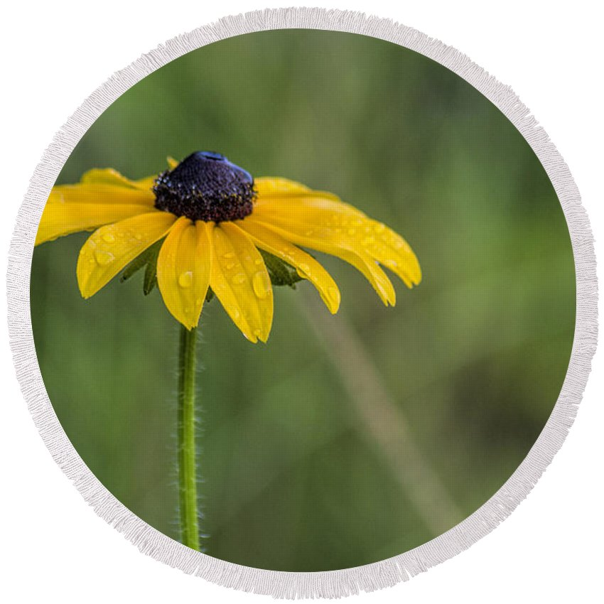 Black Eyed Susan Round Beach Towel featuring the photograph Black Eyed Susan by David Stone